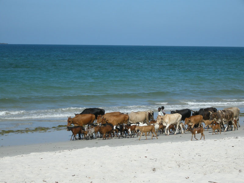 troupeau_sur_la_plage